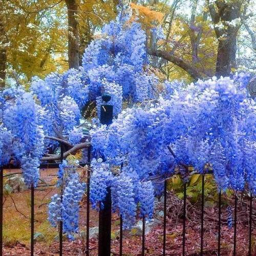 Wisteria Plant make a beautiful backdrop for arbors and trellis due to their long clusters of blooms and a heady fragrance to match.
