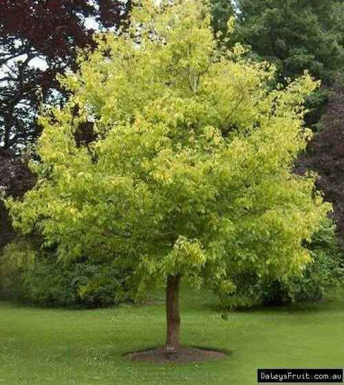 Box Elder live stakes will provide shade for your lawn.