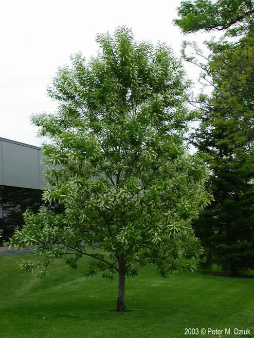 Black Cherry Tree - Prunus Serotina also make great shade trees because they grow up to 30 feet tall and 25 feet wide.