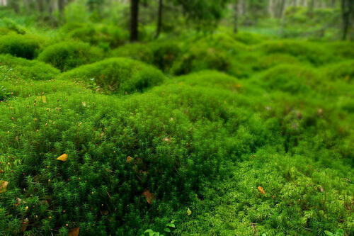 Hair Cap Moss  is particularly pleasant to look at, though, due to its one-of-a-kind structure.