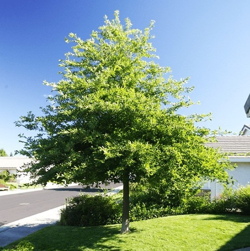 Black Gum  is found in places like Ontario, Canada, to locations like the coast of Florida and Texas.