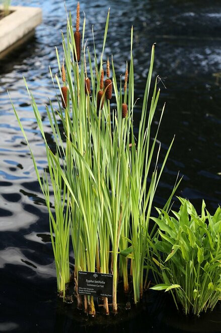 Water Garden Plants - Beginner Package - 9 Plants - Chosen Perfect For Your Zone   includes 3 Cattail Plants