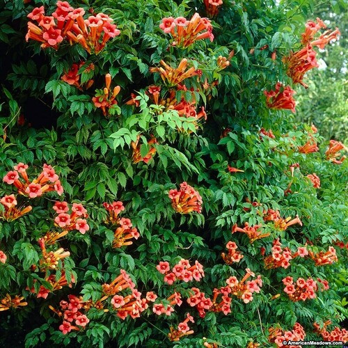 Hummingbird Plants - Beginner Package - 6 Plants - Chosen Perfect For Your Zone $2 - Hummingbirds absolutely love trumpet vines.