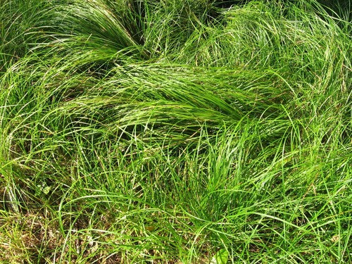 Mountain Sedge thrive best in soils with a moderate pH--between five and six.