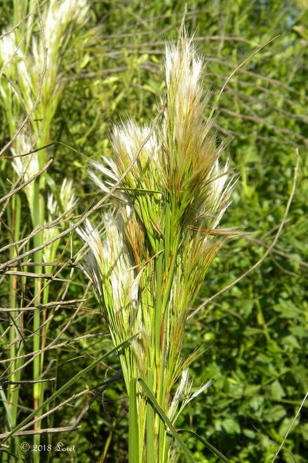 Bushy Bluestem  is very resistant to deer and should help produce a solid and appealing lawn for those who want a high-water grass that thrives in the autumn months.
