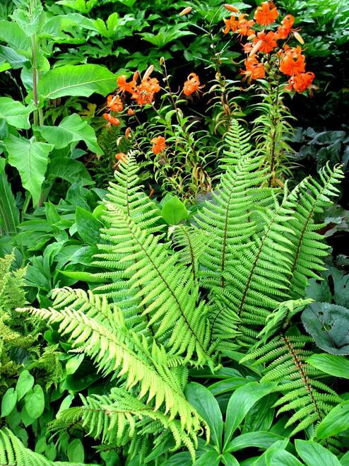 Perennials & Fern Package - Beginner Package - 50 Plants -Chosen Perfect For Your Zone (view) are hand-selected packages of all types of plants combined to give the homeowner the ultimate experience in gardening