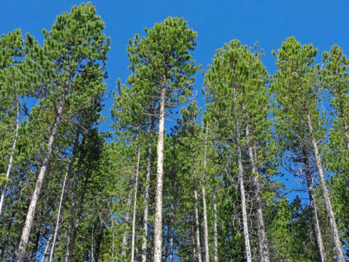 Pine Trees  are conifers and consist of approximately 25 percent of all cone-bearing species. That means that pines bear cones.