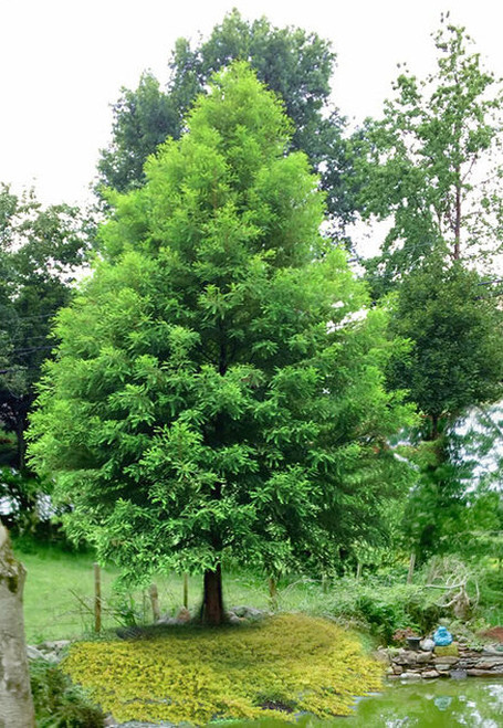 Bald Cypress Tree has one of the most extended lifespans of any tree.