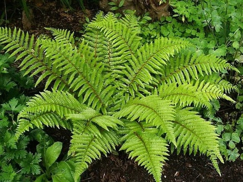 Leatherwood Fern has 15 to 20 inch long fronds with deeply cut, glaucous green leaves that taper to a point. T