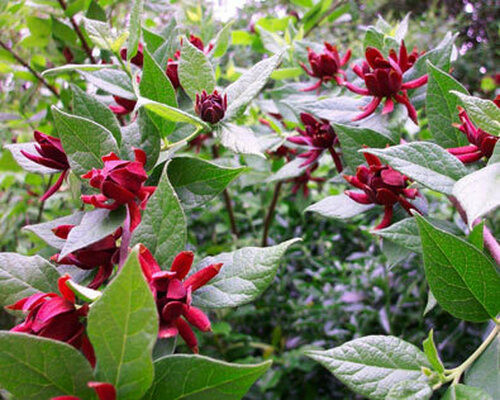 Carolina Allspice Shrub eeds a basic amount of sunlight of no less than between 4 and 8 hours a day.