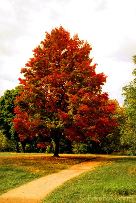 American Sycamore Tree  does withstand urban pollutants and can thrive in urban areas. In southeastern regions of the United States, the Tree does well in rain gardens or other areas with moisture. I