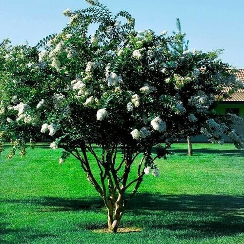 Natchez White Crepe Myrtle they bloom for between 60-120 days, making it one of the world's most extended blooming trees.