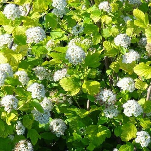 Ninebark Shrub  foliage comes in a wide range of colors given the cultivars on the market, from green and golden to burgundy and purple.