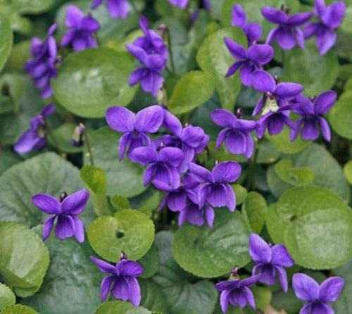 Purple Violets can be used to treat acne, psoriasis, and eczema when created into an ointment. .