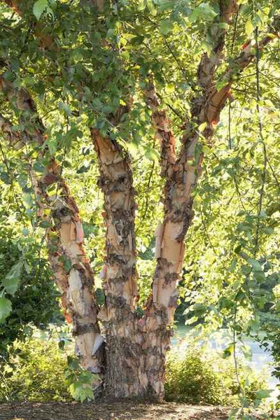 River Birch Trees are excellent shade producers.