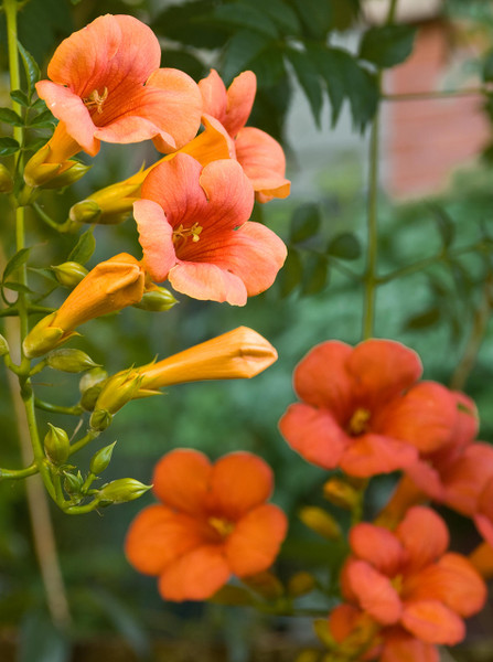 Hummingbird vine is  low maintenance and easy to care for.