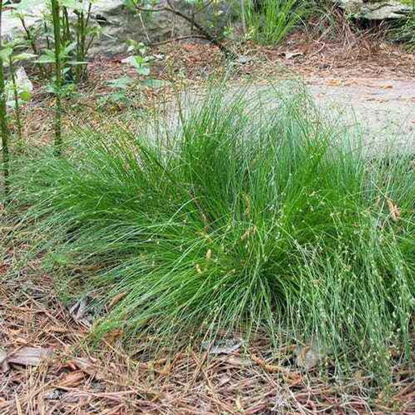 Appalachian sedge is a hardy grass that is a perfect groundcover.