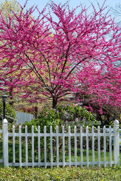 Redbud Trees can grow 25 to 30 feet tall at maturity.