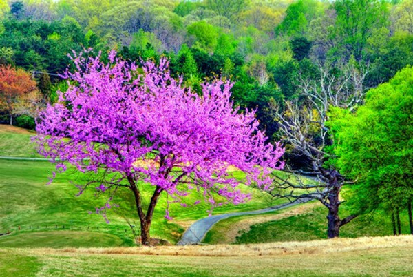 Redbud prefers well drained, moist alkaline soil conditions.