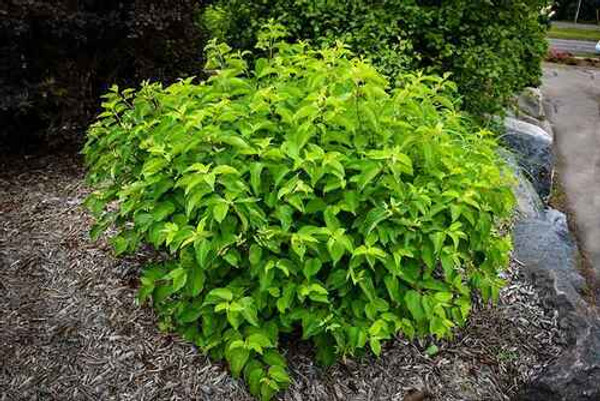 Silky Dogwood are hardy in planting zones 5-8