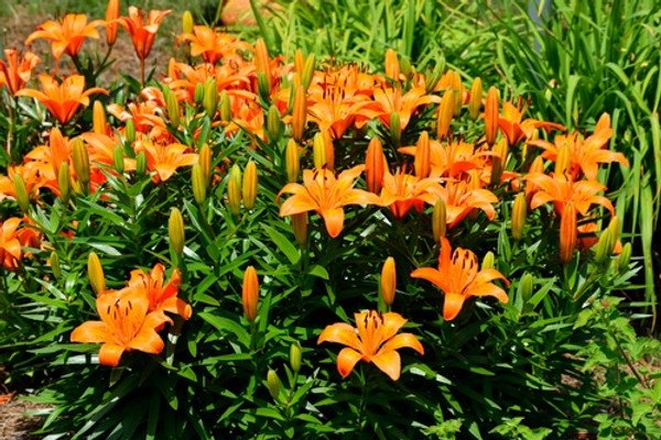 Orange Daylilies are popular, easy-to-grow, low-maintenance perennials