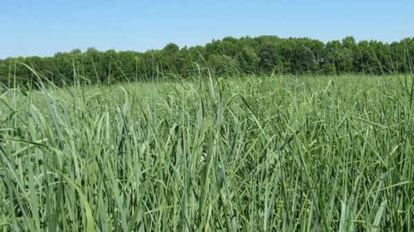 Switchgrass is one of the dominant species of the tallgrass prairie