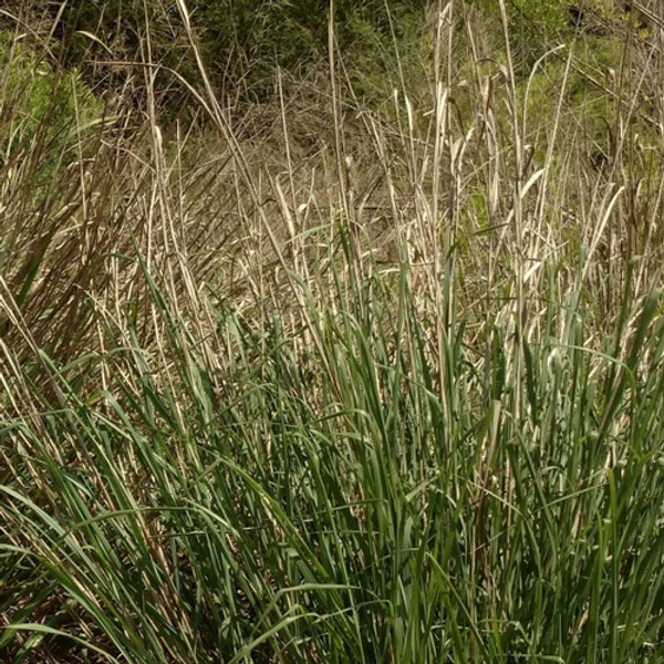 Switchgrass is drought tolerant.