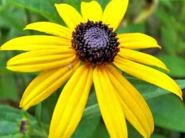 Black-Eyed Susan is renowned for its showy golden, orange or bicolor flowers with dark centers.
