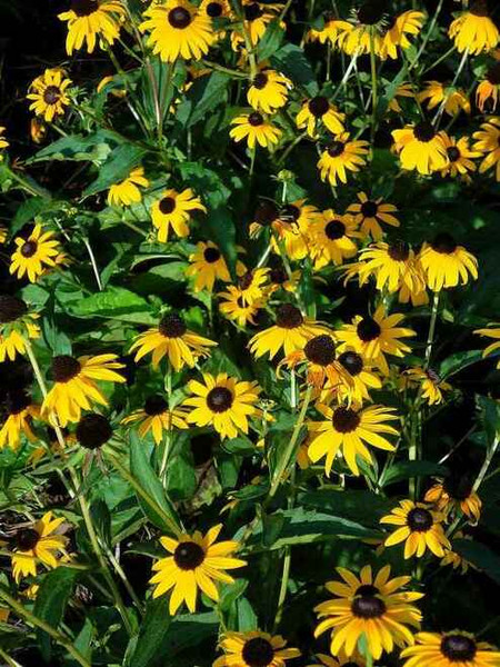 Black-Eyed Susan is easily grown in average, well-drained soils in full sun.