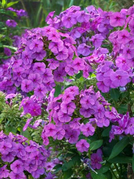 Phlox plants  are native to North America and are a popular choice for gardens, yards, and landscapes.