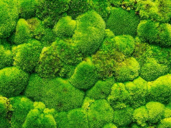 Cushion moss is usually found in dry soil.