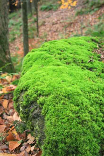 Rock Cap Moss is clumping thick moss.