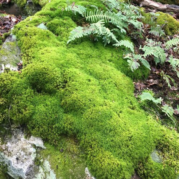 Rock cap moss should be watered frequently and planted in the shade.