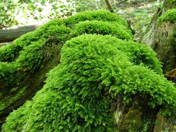Ground Fern Moss  reach a maximum length of between 3 inches and 3.5 inches