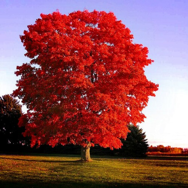Scarlet Red Maple grows 40-60 feet at maturity.