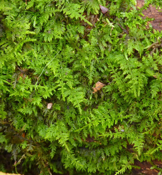 Fern Moss is low maintenance option for your garden.