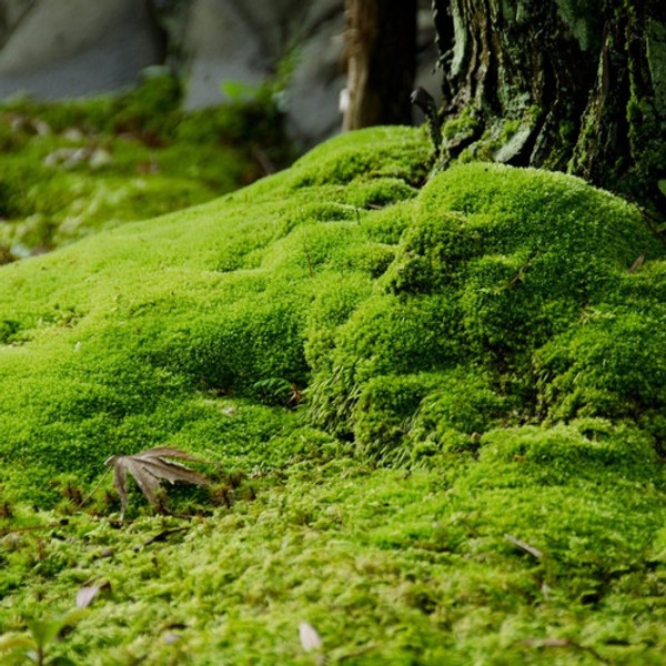 Carpet Moss can be found and grown in virtually any zone and condition.