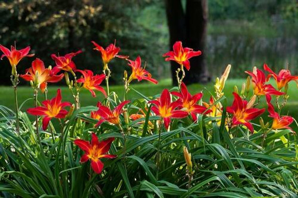 Red Daylily grow best in hardy zones 3-9.