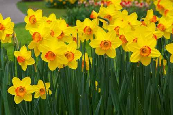 Daffodils thrive when planted  in zones 3-9
