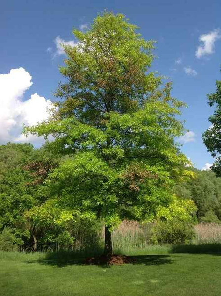 Pin Oak Tree is a tree that has leaves that change color throughout the year, ranging from green to scarlet and bronze.