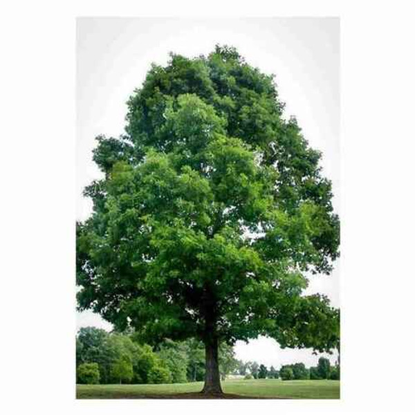 Black Oak Tree are surprisingly a part of the red oak family.