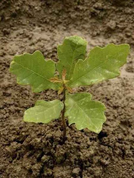 Black Oak Tree tend to be slow-growing; they usually only grow between 18-22 inches a year.