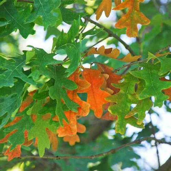 White Oak Trees is one of the longest-lived trees in America and can live for hundreds of years.
