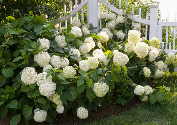 Snow Hill Hydrangea trees blooms from July to September