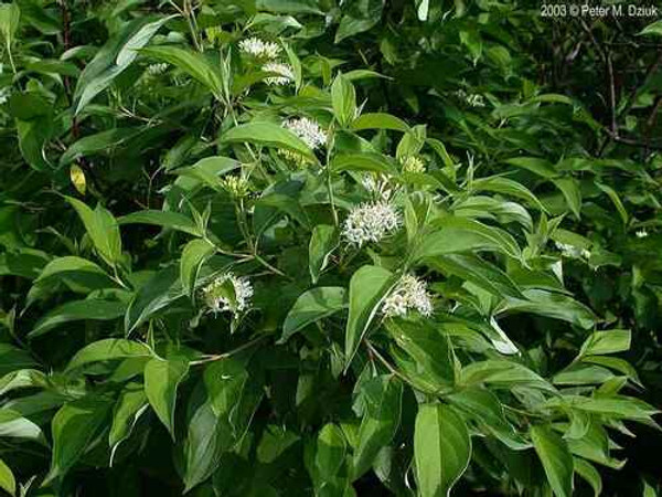 Silky Willow Live Stakes is Native to North-Eastern America and found in other parts of North America.