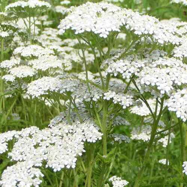 Yarrow Plant grow in a variety of colors.