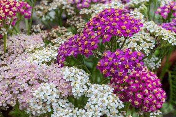 Yarrow Plants are a great option for a wildflower border.