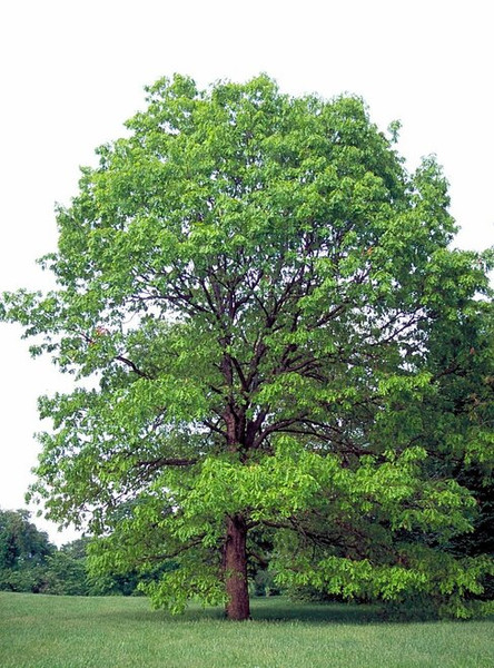 Post Oak Tree are among  the most long lived trees.