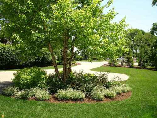 River Birch Seedlings are a great choice for an ornamental tree.