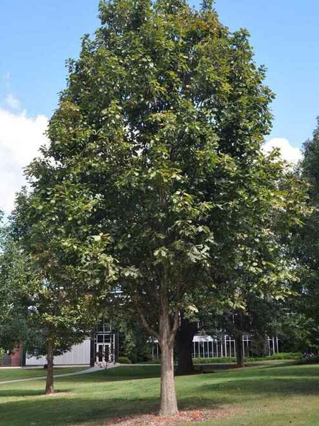 Swamp White Oak Seedlings can grow up to 60-80 feet tall at maturity.